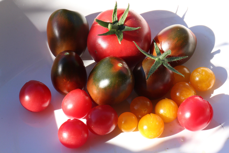 wieviel tomatensorten gibt es